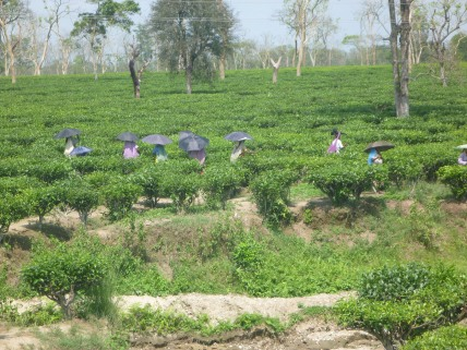 Tea picking in Darjeeling. I could smell the tea.